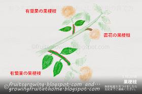 果梗枝の図