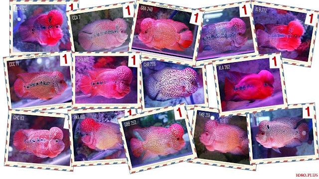 Gambar Ikan Luohan Juara Kontes Dari Tahun Ke Tahun