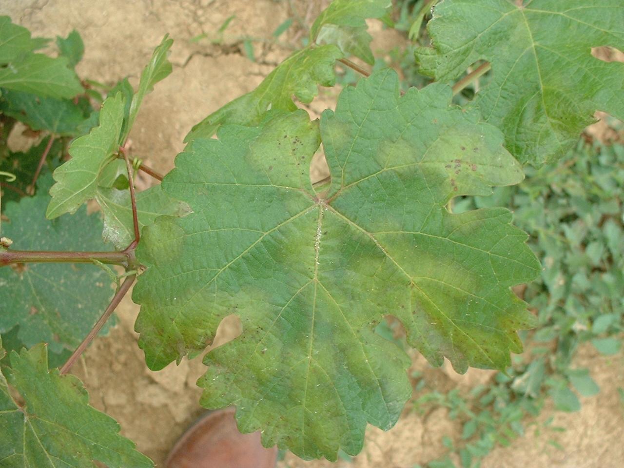 jardivigne savoir reconna tre le mildiou sur les feuilles de vigne. Black Bedroom Furniture Sets. Home Design Ideas