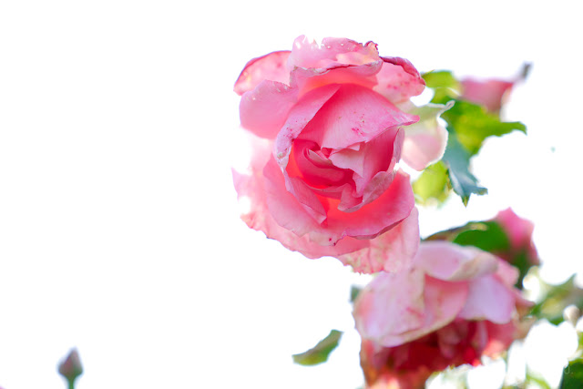 Boccioli di rosa in controluce