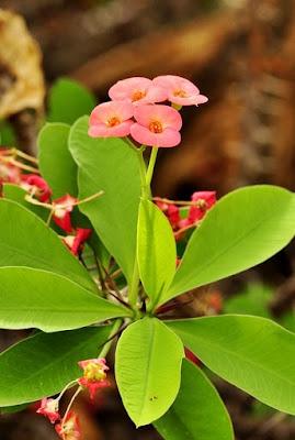 Cuidados com a Coroa de Cristo - Euphorbia milii