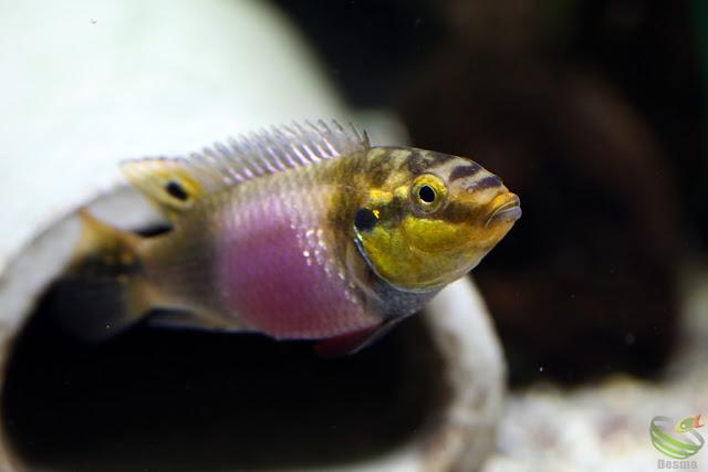 "Pelvicachromis Subocellatus ""moanda"""