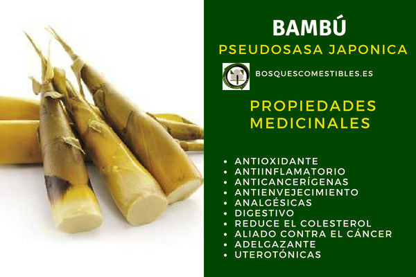 Bambú, Pseudosasa japonica, tiene propiedades: antioxidantes, antiinflamatorias, analgésicas