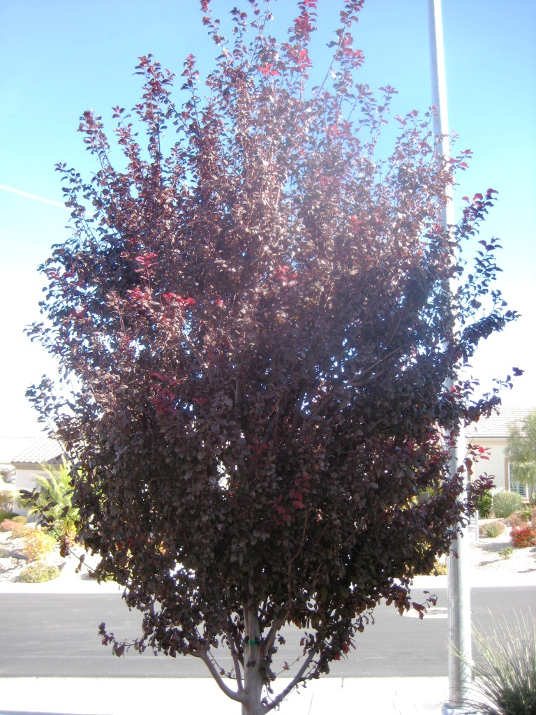 Xtremehorticulture Of The Desert Make Jelly From The Fruit Of