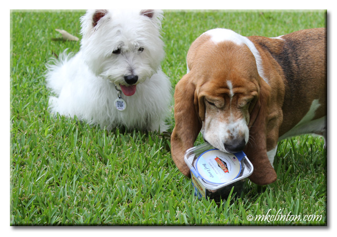 Bentley Basset HOund trying to bite open container of Evanger's Beef lungs while Pierre Westie looks on