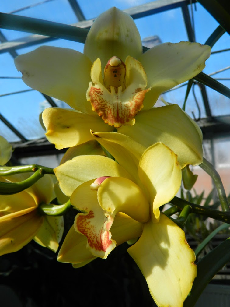 Yellow Cymbidium Allan Gardens Conservatory 2015 Spring Flower Show by garden muses-not another Toronto gardening blog