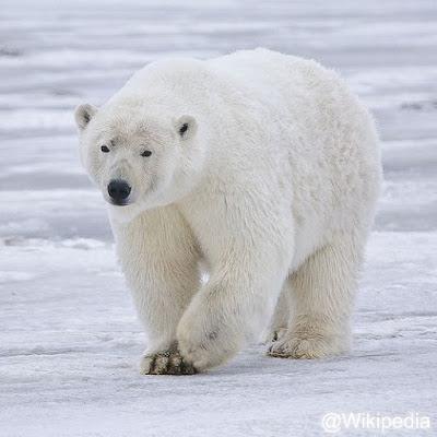Beruang kutub atau beruang es