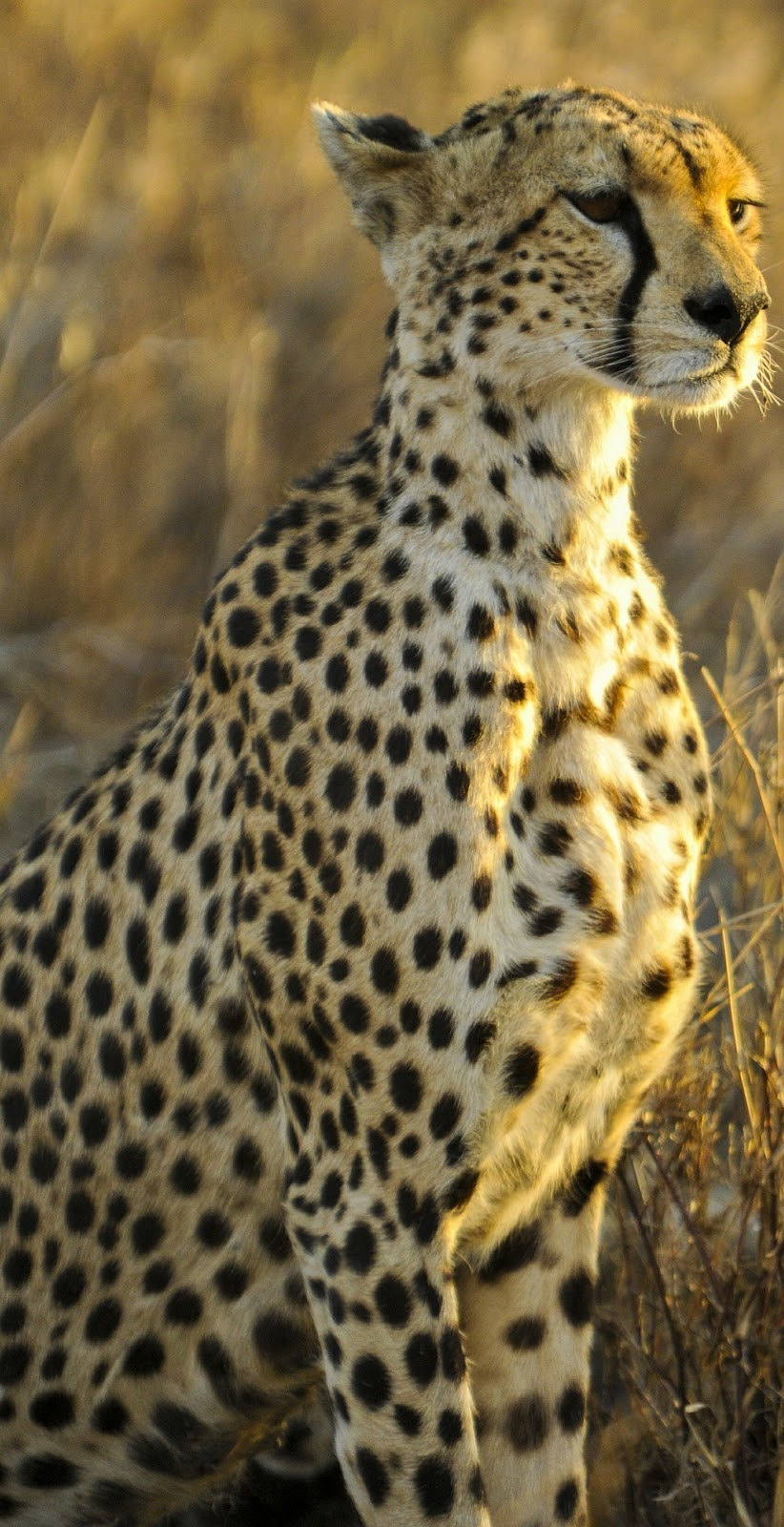 amazing facts about cheetahs