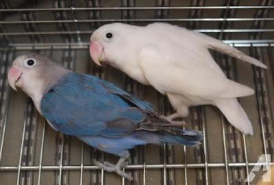 Sharing Breeding Lovebird
