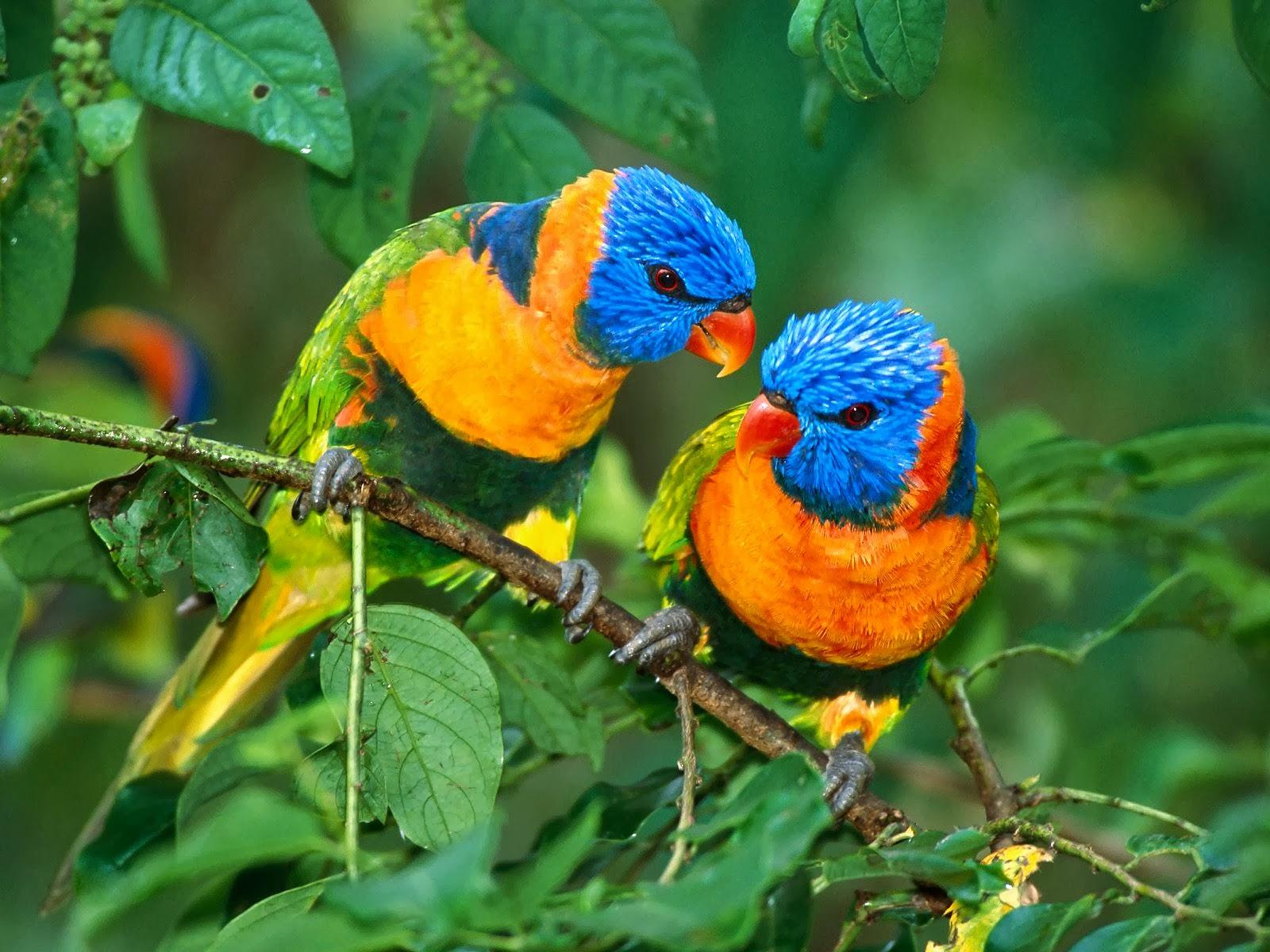 A Beautiful Couple Of Lorikeet Birds Wallpaper Hd: Beautiful Nice And Lovely Birds Images