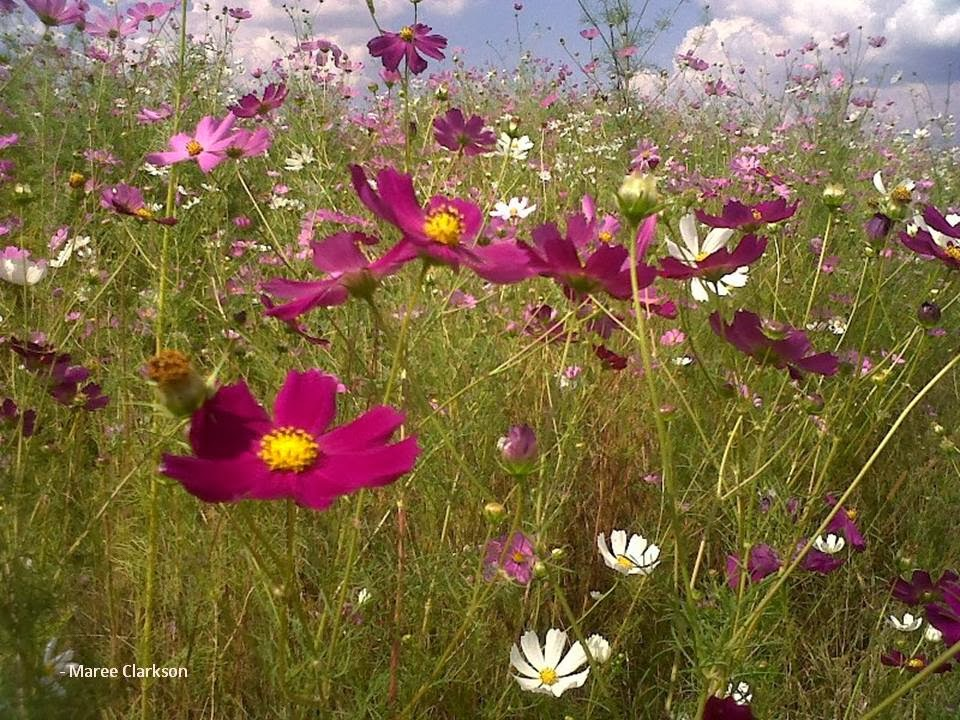 Gardening in Africa  Cosmos flowers in South Africa Crawling among the cosmos  taller than me  next to the side of the road to  try and get a good shot of these annual flowers was quite an experience
