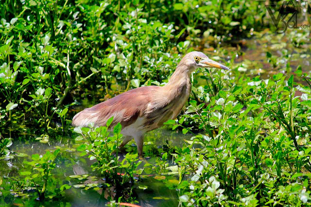 Indian Pond Heron at the Ooty Gardens
