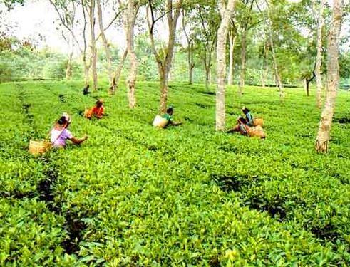 Tea Garden Photo