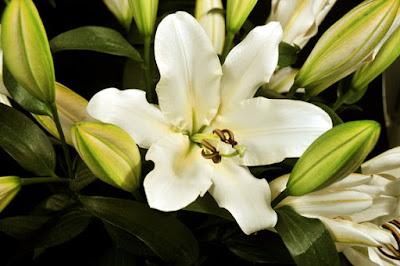 Casablanca Lily White Oriental aromatherapy