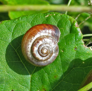 Snail on leaf - not yet identified.