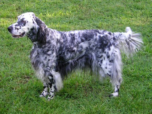 English Setter-pets-dogs-dog breeds