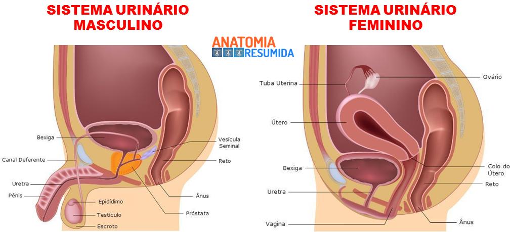 Moderno Anatomía Del Sistema Urinario Masculino Imágenes - Anatomía ...