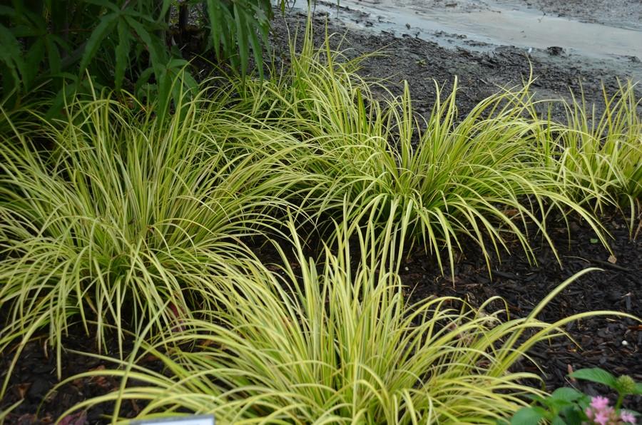 gramíneas ornamentales