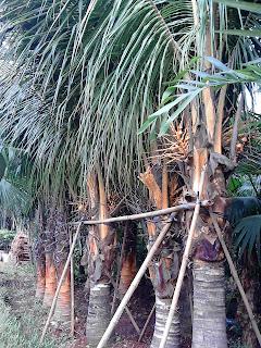 pohon kelapa kuning hias