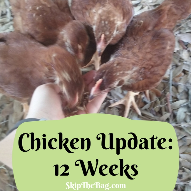 How chicks have changed in the first 12 weeks.