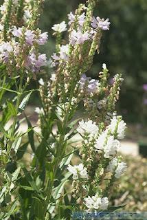Physostégie de Virginie - Physostegia virginiana - Cataleptique de Virginie