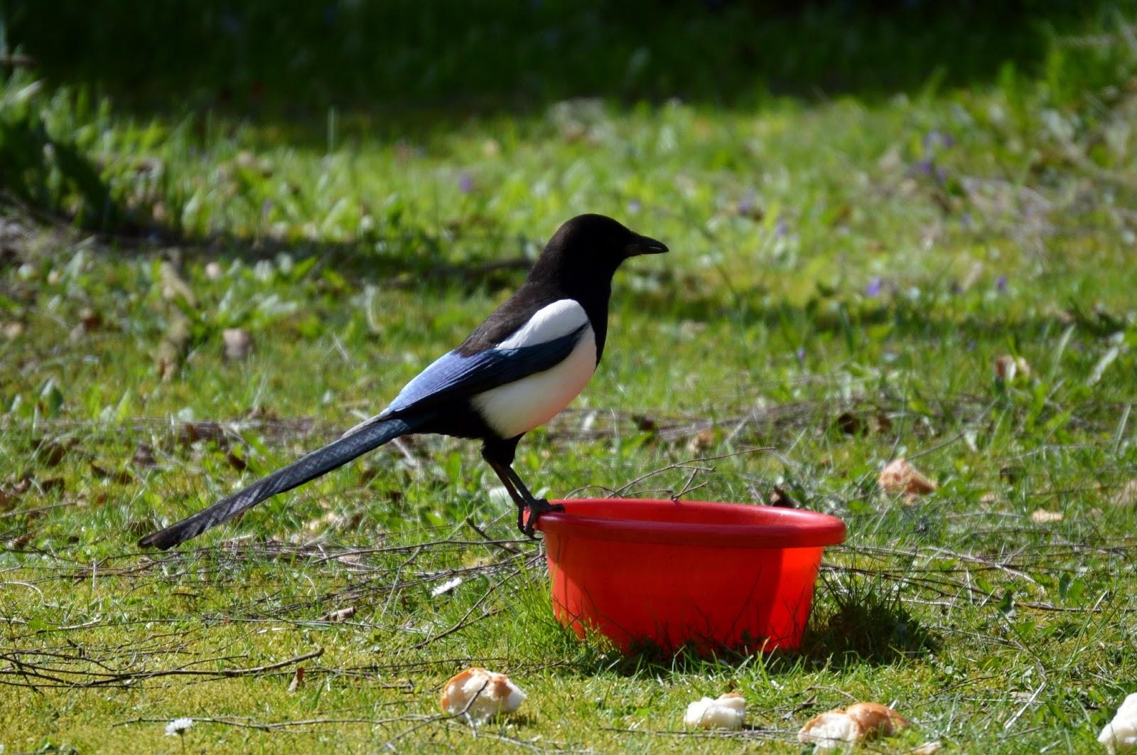 A raven bird performing a balancing trick.