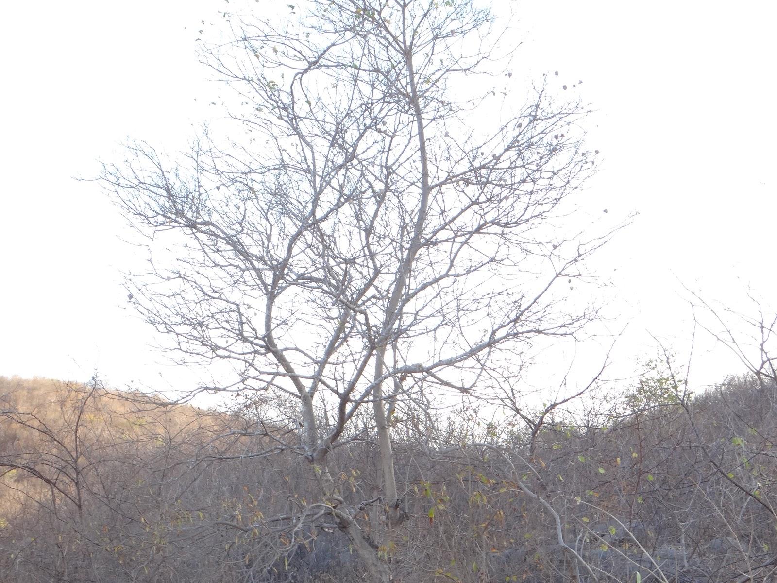 Pintinho pau preto branco