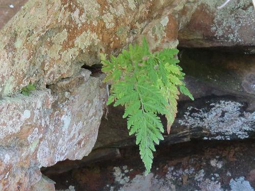 Mackay's Fragile Fern growing out of a rock wall in Kentucky