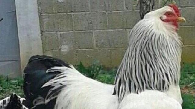 Αυτός είναι ο μεγαλύτερος κόκορας του κόσμου – Δείτε τον «Μερακλί» (ΒΙΝΤΕΟ)