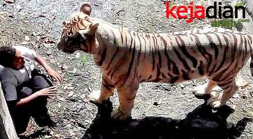 Pria India diterkam Harimau Putih karena terjatuh ke halaman kandangnya