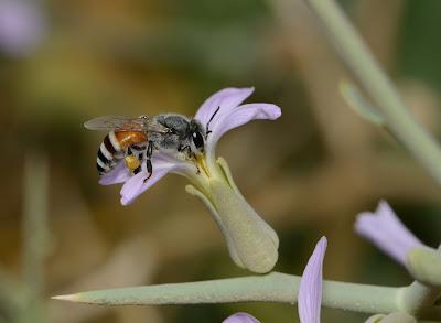 Apis florea | Dwarf Honey Bee