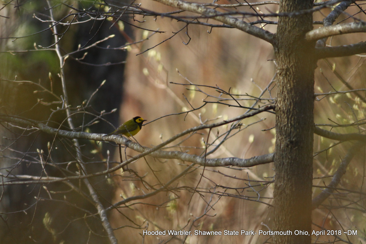 Nerdy for Birdy: Birding Southern Ohio\'s Shawnee State Park in Late ...