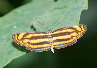 Malayan Lascar (Lasippa tiga siaka)