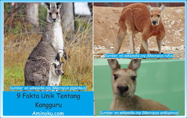 Fakta unik kangguru