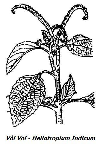 Hình vẽ Cây Vòi Voi - Heliotropium indicum - Nguyên liệu làm thuốc Chữa Thê Thấp và Đau Nhức