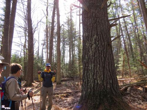 large white pine