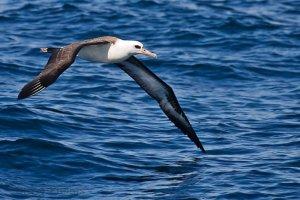 albatrosi,albatrosi sharl bodler,Albatrosi Sharl Bodleri, Poezi Albatrosi nga Sharl Bodler