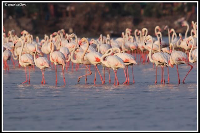 Greater Flamingo at Diksal
