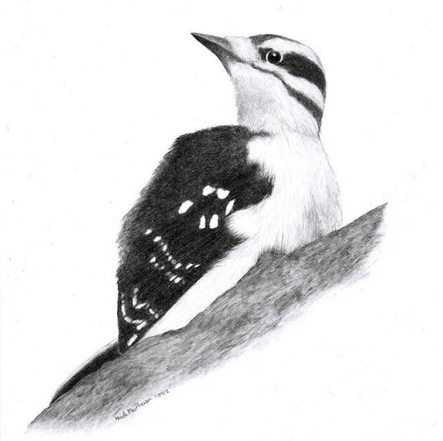 art by nic mac drawing hairy woodpecker