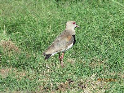 tero comun Venellus chilensis Argentina nativa