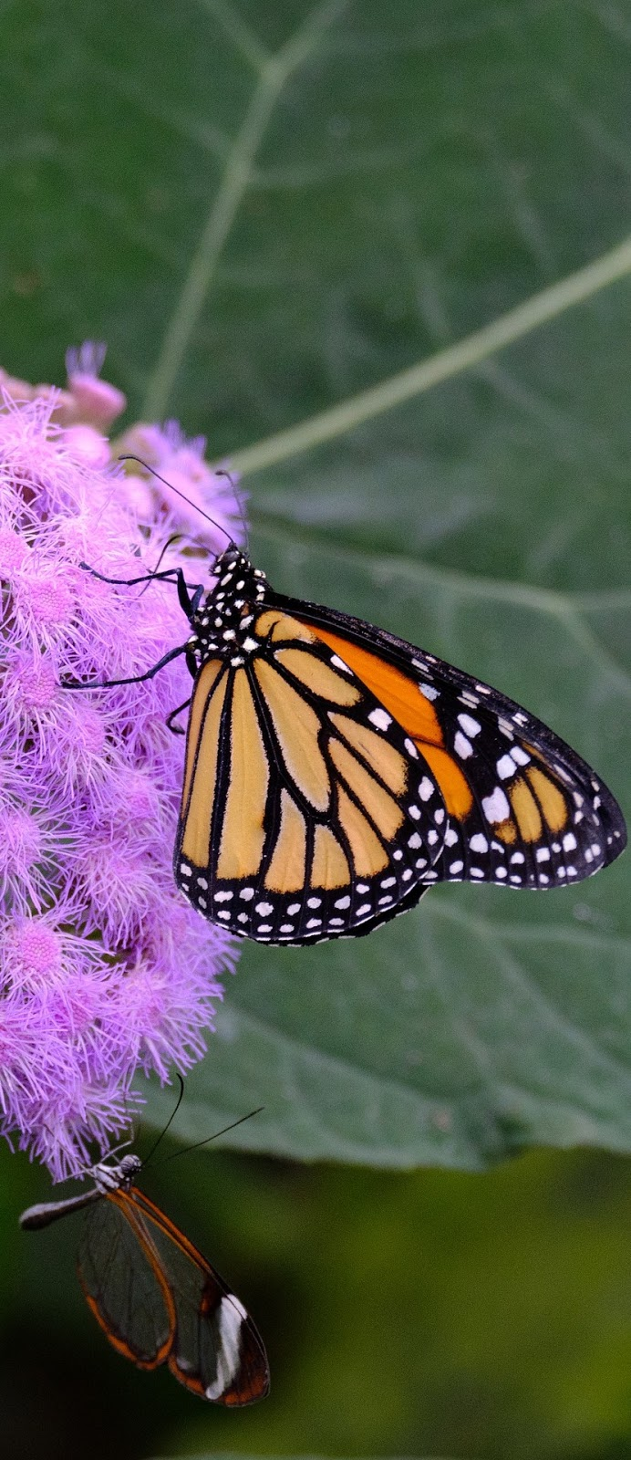 A monarch and glasswing butterfly sharing a flower.