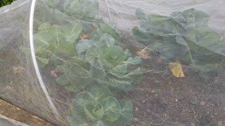 Cabbages healthily coming along under the net