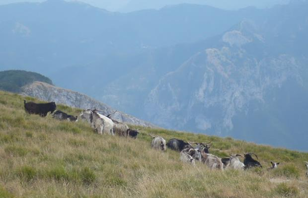 Monte Sumbra le capre apuane