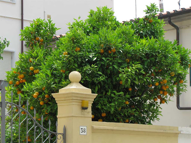 Orange tree, via Borsi, Livorno