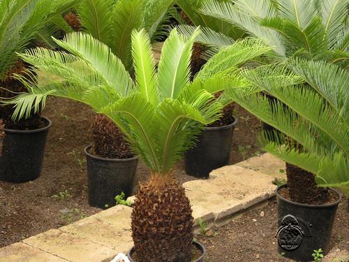 دراسة جدوى فكرة مشروع مشتل أشجار الزينة فى مصر 2019