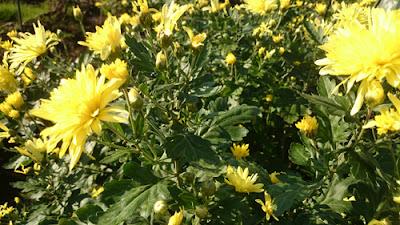 黄色の食用菊
