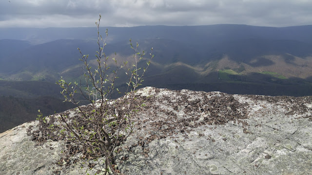 Small tree grows out of a crack in a stone overlook. Rolling hills and a cloudy sky in the background. North Fork Mountain, West Virginia.