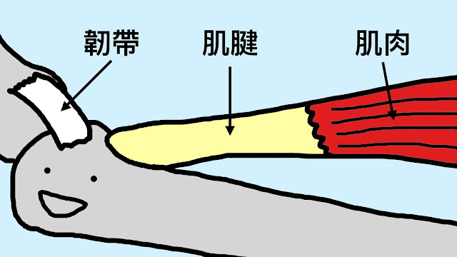 好痛痛 肌腱 tendon 韌帶 ligament 肌肉 muscle