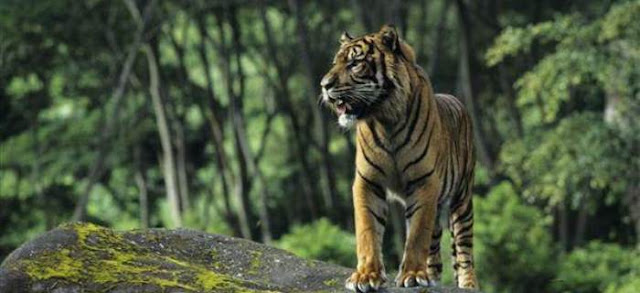 Pemburu Harimau Sumatera di Hutan Leuser Ditangkap