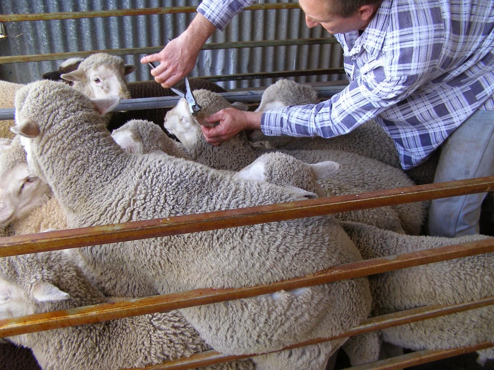 Pretending to Farm: Mustering Sheep